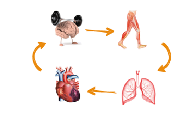 Physiologie du sportif